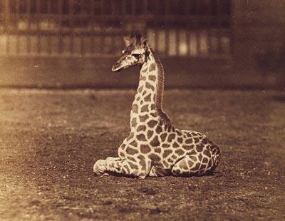 Montizon 1860 Giraffe