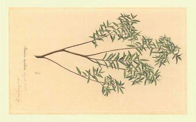 Parkinson.1770.Thymelaeceae