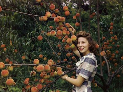 A-woman-with-1940s-hairstyle-and-dress-picks-peaches-in-louisiana-missouri-in-1946
