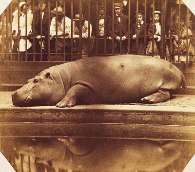 Montizon 1852 Hippo