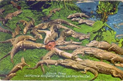 Alligator_farm